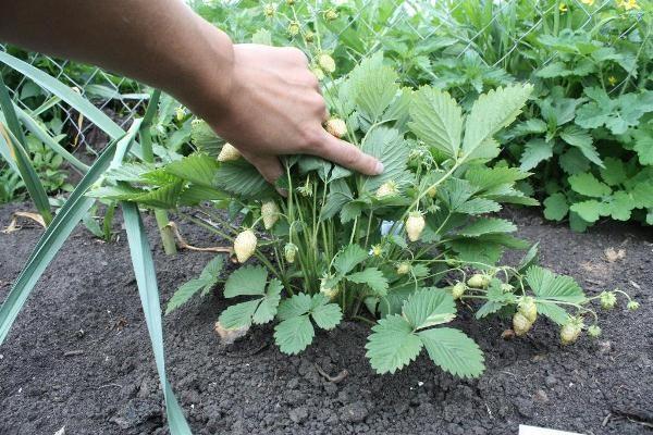 Не следует высаживать белую клубнику на почву, которая использовалась под малину, картофель, помидоры или огурцы