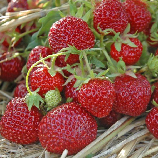 С одного куста клубники Зенга Зенгана порою собирают до 1,5 кг ягод