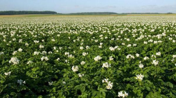 Картофель Винета имеет раскидистые кусты с мелкими цветочными венчиками белого цвета