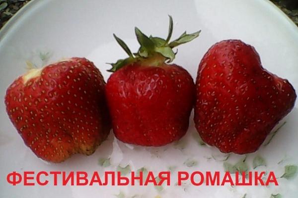 Сорт подходит для выращивания в Центральном и Северном регионе, на Урале и в Сибири
