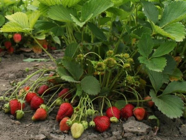 Кустики Польки высокие, ягоды весят до 50 грамм, обладают сладким вкусом с карамельными нотками