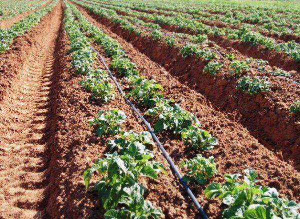 Голландский метод посадки картофеля Киви обеспечит высокую урожайность