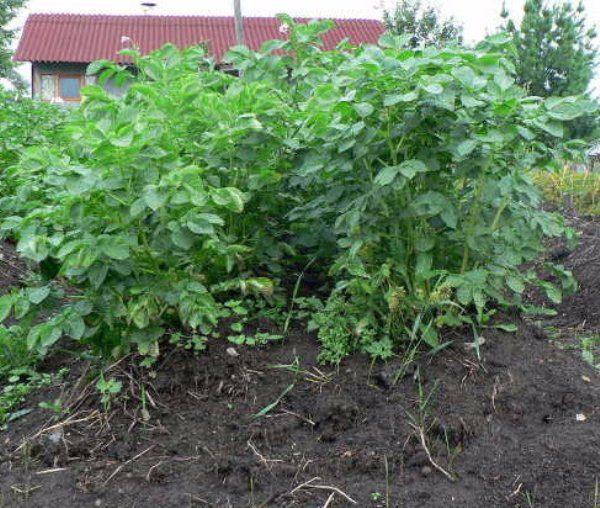 Колорадский жук и проволочник практически никогда не атакуют молодые листья и побеги картофеля Киви