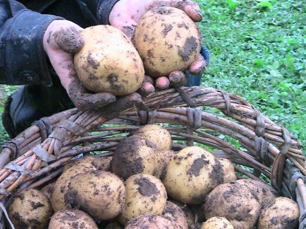 Уборка картофеля производится после полного вызревания клубней, о чем свидетельствует пожелтение и полегание картофельной ботвы