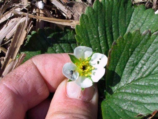 Почернение цветка у клубники