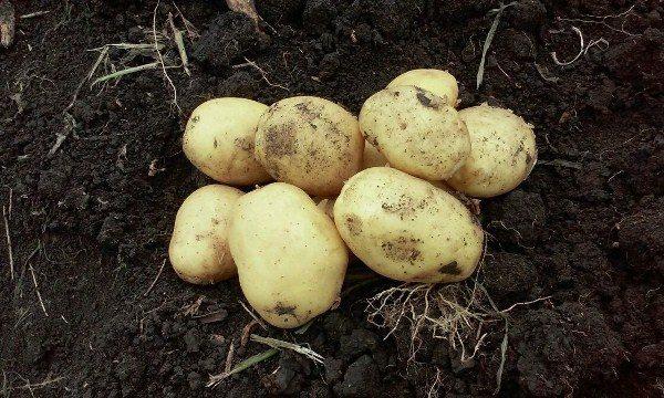 Картофель сорт Импала