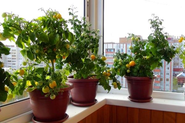 Выращивание помидоров на балконе: пошаговая инструкция