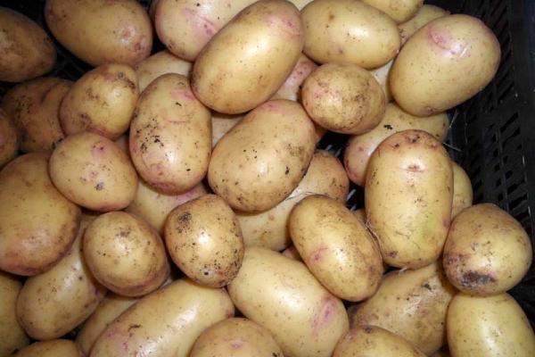 Для длительного хранения лучше выкапывать картофель в конце августа — начале сентября