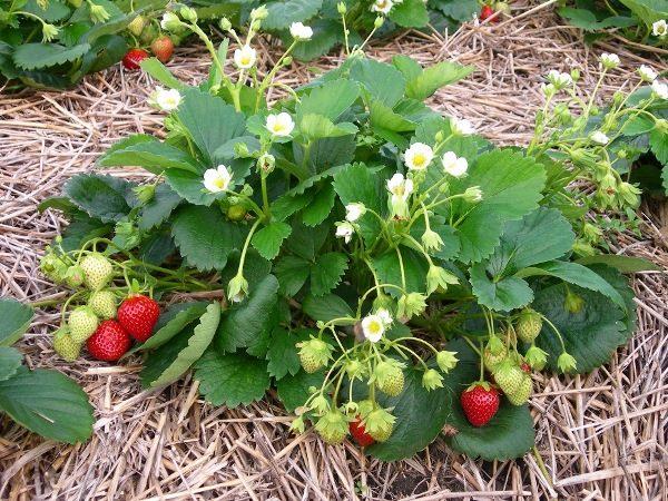 Клубника Московский деликатесс зацветает примерно через месяц после высаживания и плодоносит с мая до осенних заморозков