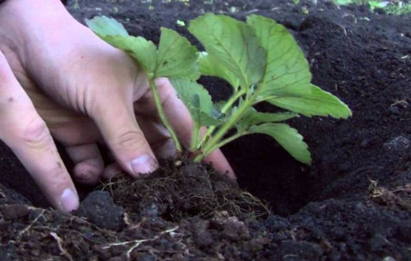 Выбор и правильная посадка саженца клубники - залог высокого урожая