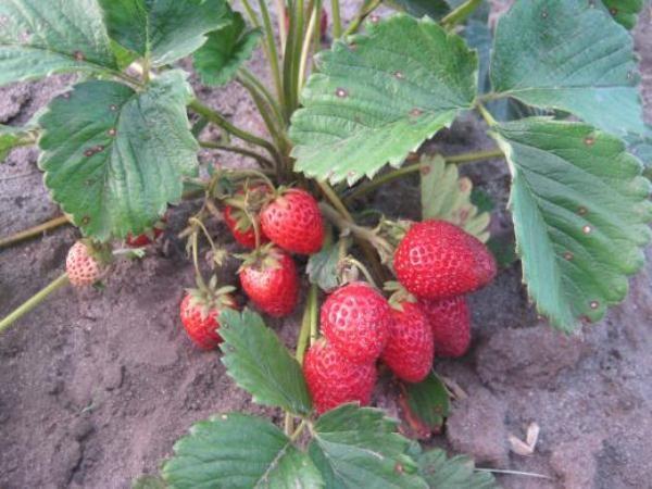 От типа почвы будет зависеть урожайность клубники Викода