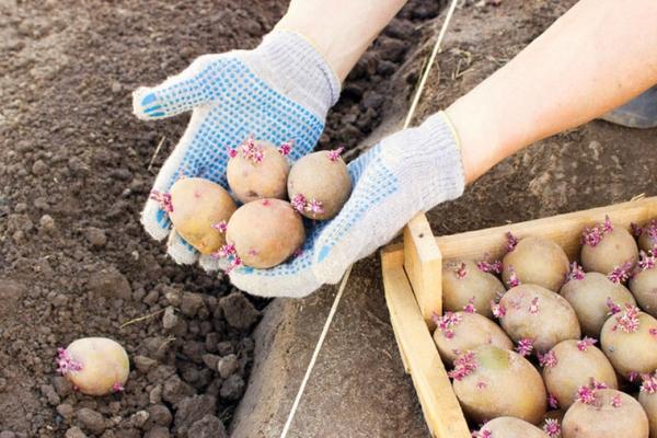Когда температура земли на глубине 10 см достигнет 7 градусов, можно начинать высадку картофеля Санте
