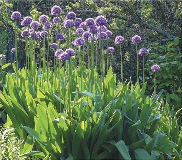Лук Суворова отличается скороспелостью, устойчивостью к болезням и вредителям, очень красивым цветением