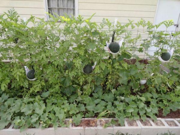 Грядка с арбузом огонек вдоль дома