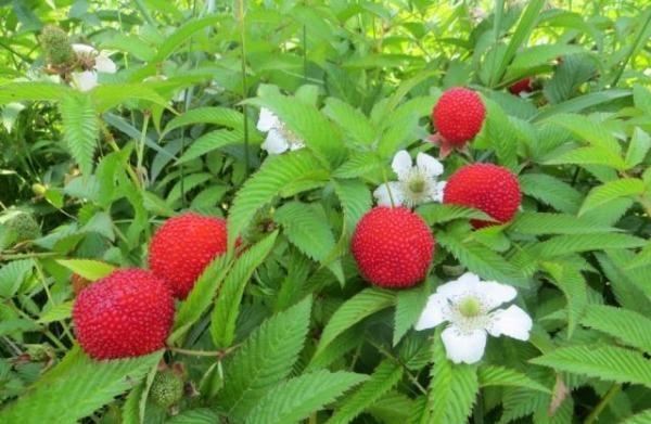 Урожайность гибрида клубники и малины зависит от почвы
