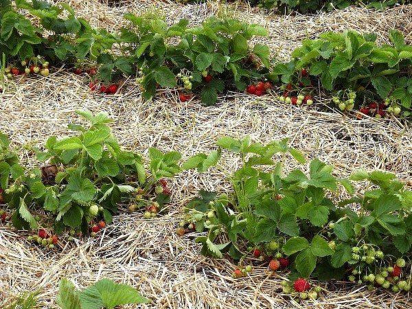 Мульча поможет сохранить влагу и предотвратит рост сорняков