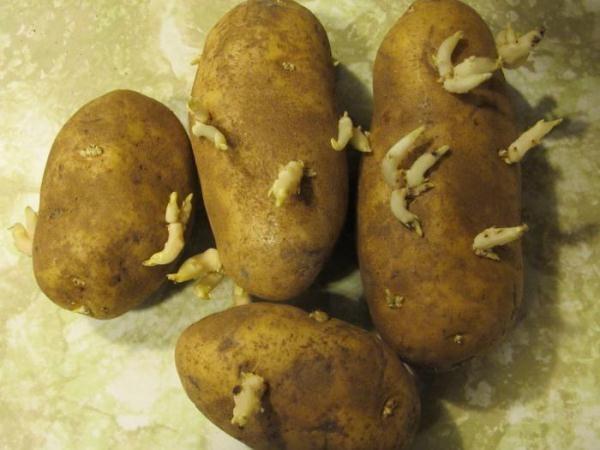 Семенной картофель Аврора с ростками