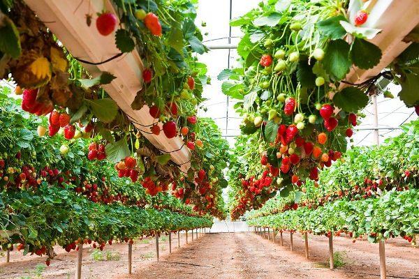 Рентабельность бизнеса по выращиванию клубники достаточно высока