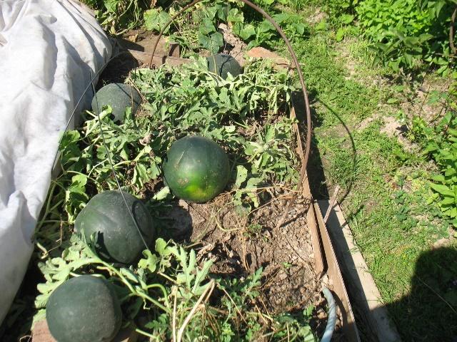 Основы выращивания арбузов 66