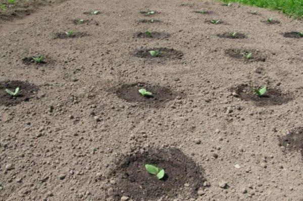 Грядка с ростками арбуза