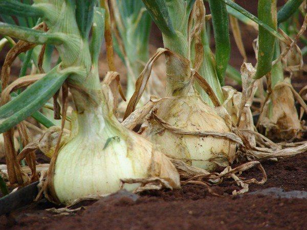 Для подкормки лука Эксибишен следует использовать азотные, калийные, фосфорные и магниевые удобрения