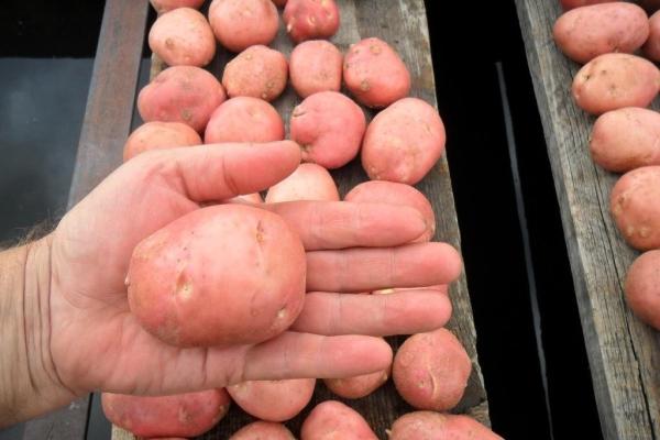 Чтобы повысить урожайность, посевной материал нужно обновлять раз в пять лет