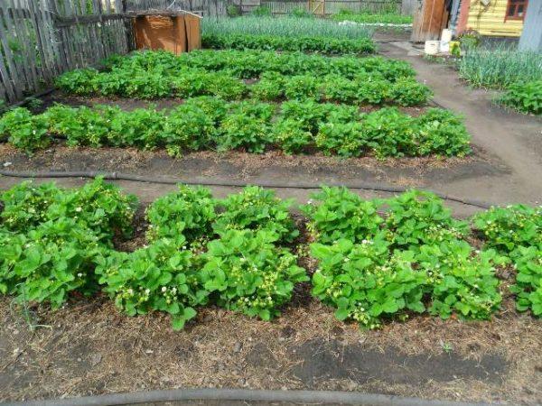 Грядки с клубникой на садовом участке