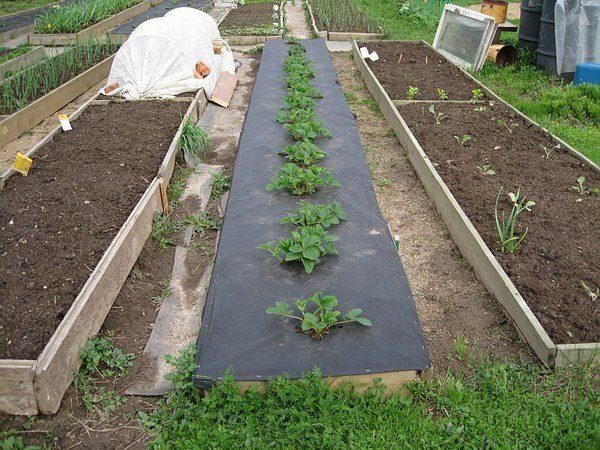 От того, как проводилась подготовка грядки под клубнику, зависит будущий урожай