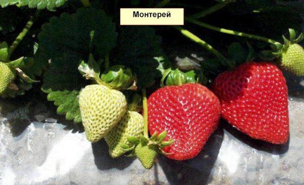 Кусты клубники Монтерей весьма урожайны – на одном может находиться до четырнадцати цветоносов