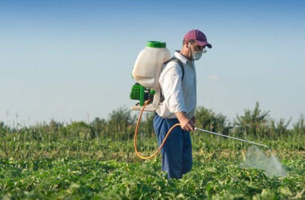 Обработка гербицидами позволит избавить картофель от сорняков