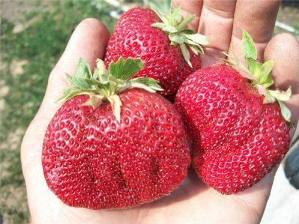 Ягоды клубники Викода крупные, имеют насыщенный красный цвет