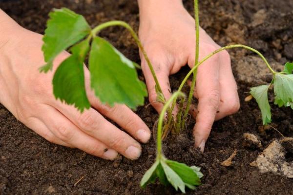 Высаживают сорт ранней весной или осенью, расстояние между кустиками не менее 30 см