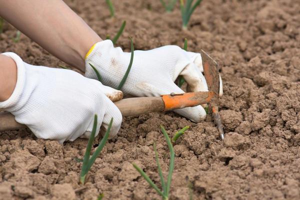 Рыхлить почву нужно еще до того, как появятся всходы лука