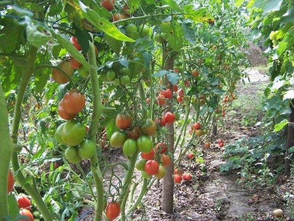 Томат де барао – сорт высокорослых помидор, отличающихся высокой урожайностью и устойчивостью к болезням
