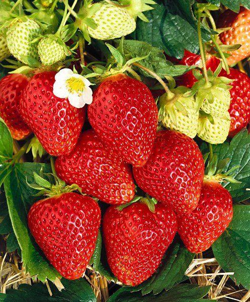 Вырастают ягоды весом до 20 грамм