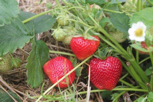 Созревшие ягоды клубники кардинал