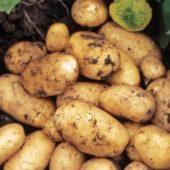 Когда сажать картофель на донбассе 33