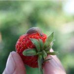 Больше всего слизни повреждают листья клубники, ягоды поглощают целиком