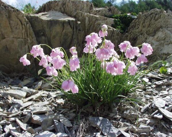 Чеснок Нарцисоцветковый