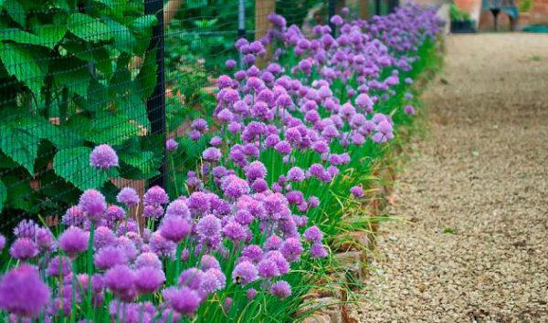 Цветущий лук шнит на дачном участке, растущий вдоль дорожки