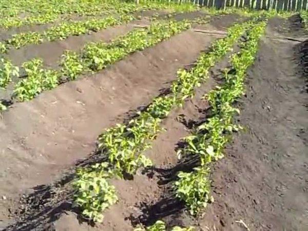 Двойные ряды картошки