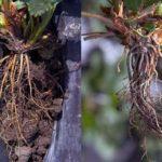 Фитофтороз корней клубники