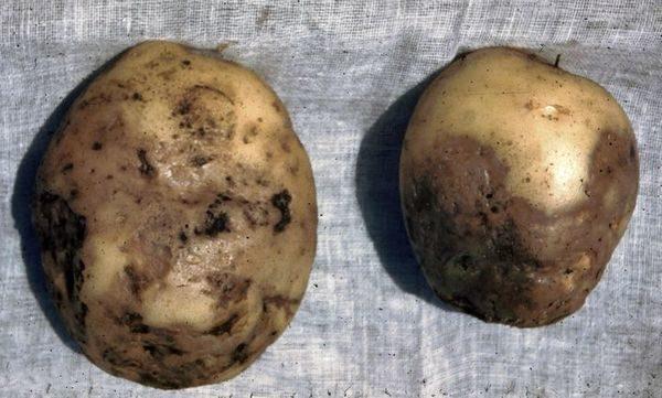 Фитофтороз на картофеле