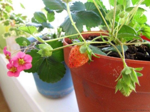Выращиваемые в домашних условиях кустики клубники нужно слегка притенять от жаркого солнца