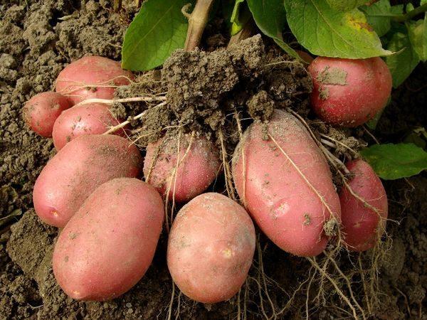 КОРНИ картофеля