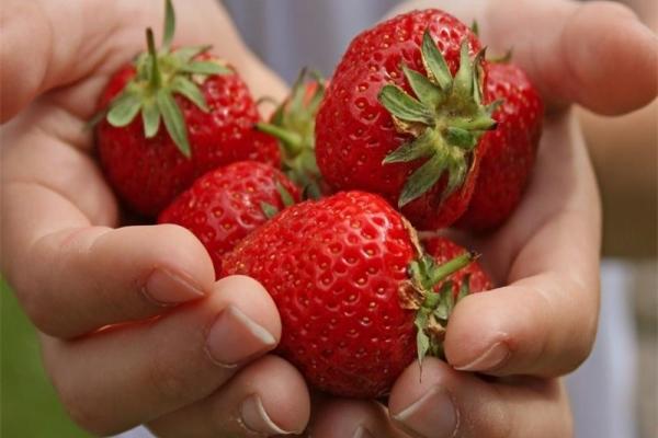 Достоинства Симфонии: высокая урожайность, лежкие плоды, пригодные к транспортировке