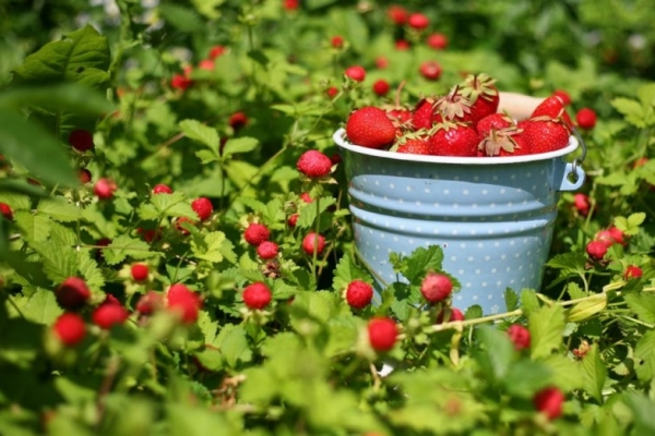 Как получить хороший урожай клубники: советы и рекомендации