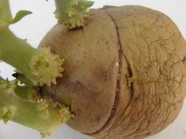 Кольцевой надрез картофеля