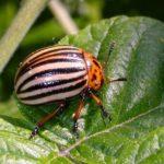 Колорадский жук - самый опасный вредитель картофеля