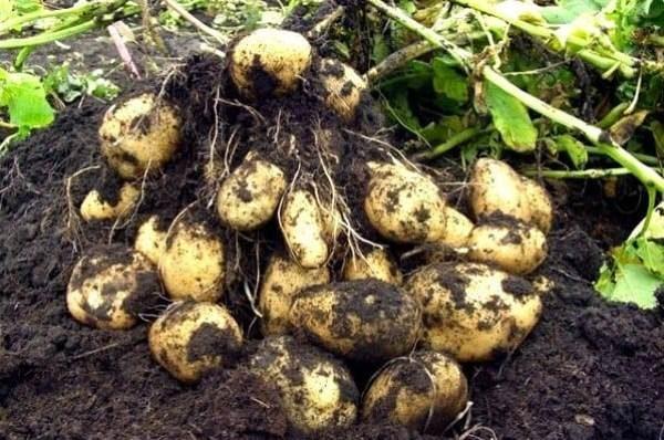 Корнеплоды картофеля Импала с одного куста